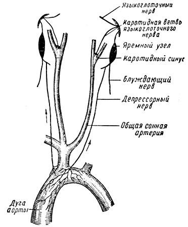 Рис.32 Схема кардио-аортальной