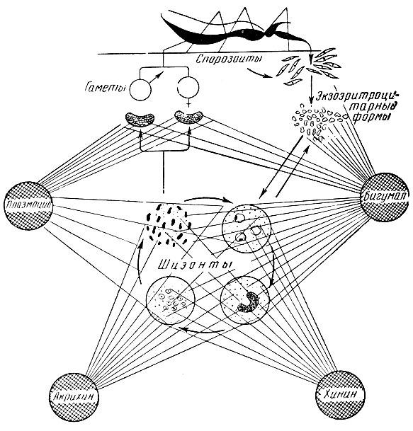 Схема действия противомалярийных препаратов на различные стадии развития малярийного плазмодия (С. В. Аничков, М. Л...