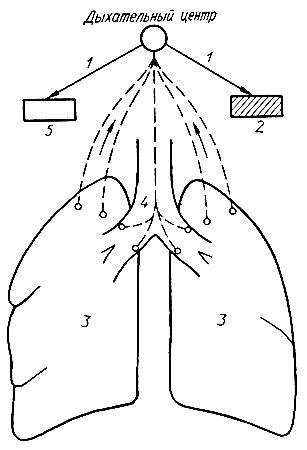 Схема рефлексов при