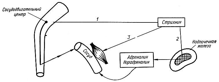Схема действия стрихнина на