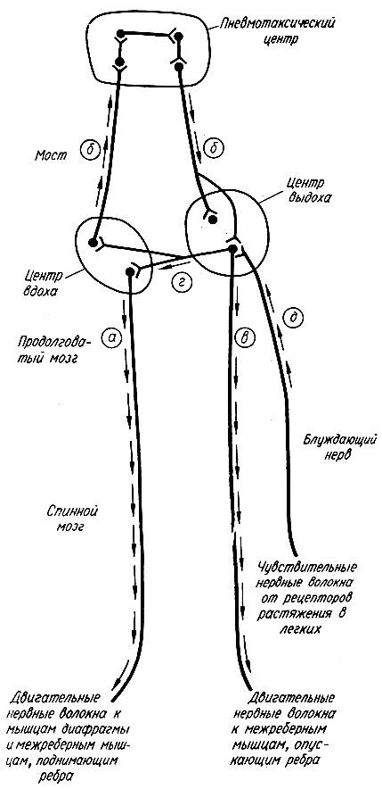 Схема нервной регуляции