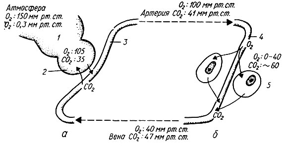 Газообмен в легочной альвеоле