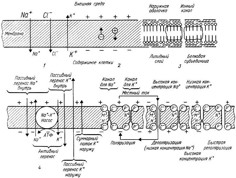 157. Схема молекулярного строения плазматической мембраны (Э. де Робертис, В. Новинский): 1 - градиент концентрации...