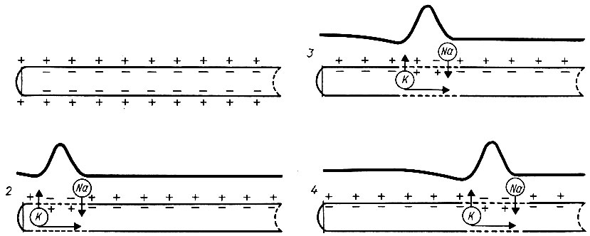 Схема, поясняющая мембранную