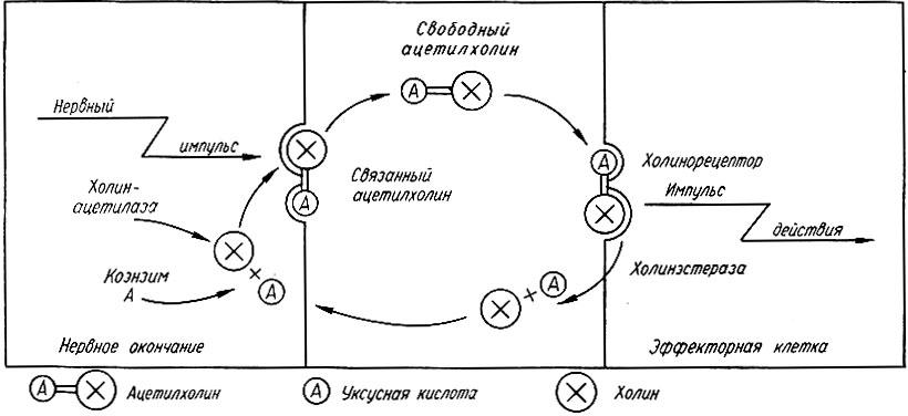 Схема передачи нервного