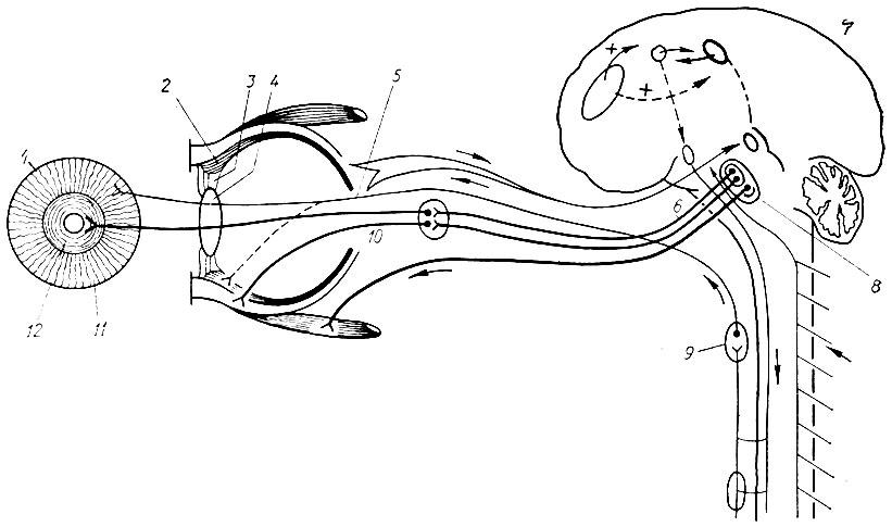 Схема иннервации глаза (по В.