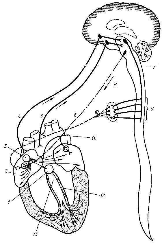 Схема иннервации сердца (по В.
