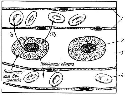 271. Схема диффузии веществ из капилляров в клетки и наоборот через тканевую жидкость, омывающую клетки (по К. Вилли...