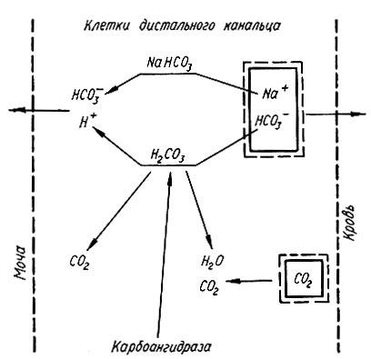 Схема ионного обмена натрия и
