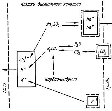 Схема ионного обмена натрия,