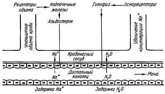 Схема регуляции воды и натрия