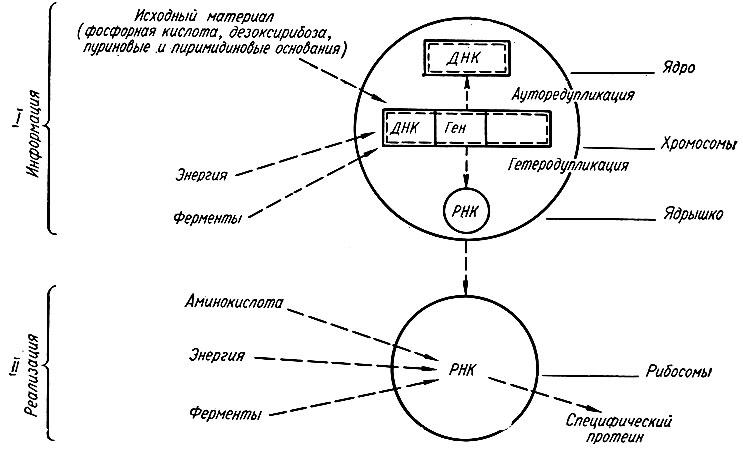 Общая схема синтеза белка (М.
