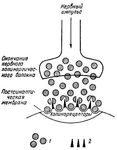 холинергического синапса.