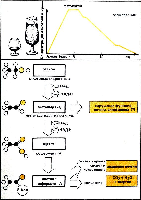 Алкоголизм и биохимические процессы